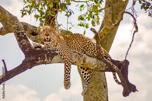 Poster Leopard Leopard lying on a branch with two paws hanging in the savannah of Maasai Mara Park in North West Kenya