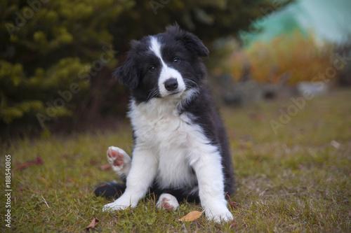 puppy border collie in autumn sitting Fototapet