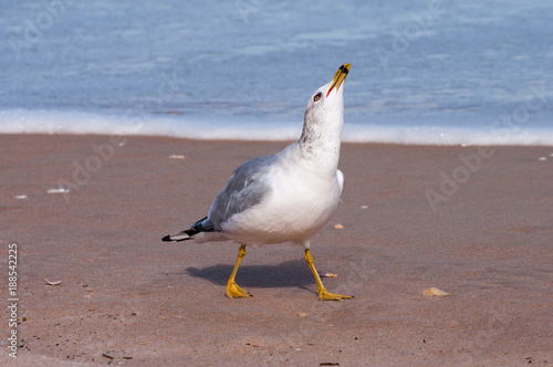 Ring billed gull on a sandy beach.