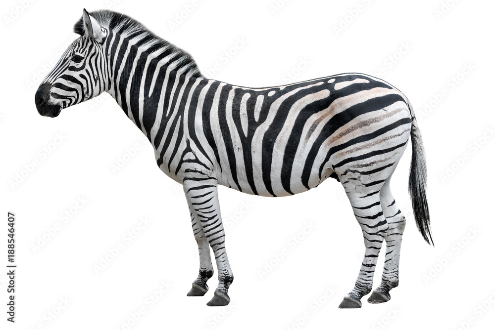 Fototapety, obrazy: Young beautiful zebra isolated on white background. Zebra close up. Zebra cutout full length. Zoo animals.
