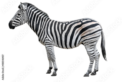 Fotobehang Zebra Young beautiful zebra isolated on white background. Zebra close up. Zebra cutout full length. Zoo animals.