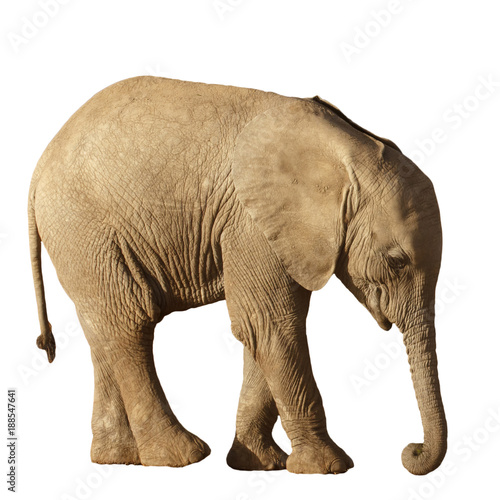Fotobehang Olifant Young African Elephant calf isolated on white background
