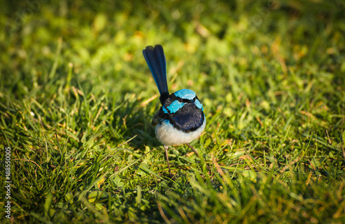 Fotografie, Obraz Close up of male Superb fairywren Blue Wren (Malurus cyaneus) famous Australian