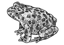 European Green Toad Illustrati...