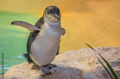 Close up of cute and wet Little Penguin at Penguin Island in Rockingham, near Perth, Western Australia. Copy space. Blurred background.