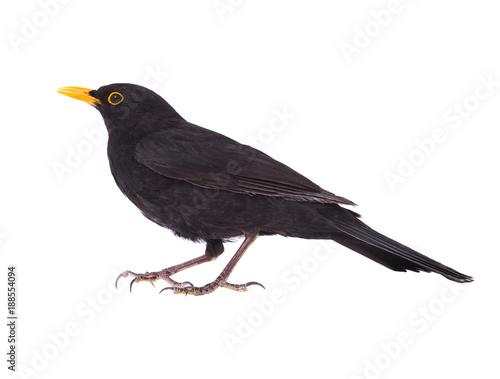 blackbird (Turdus merula) Wallpaper Mural