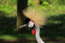 Grey Crowned Crane, Lewa Wildl...