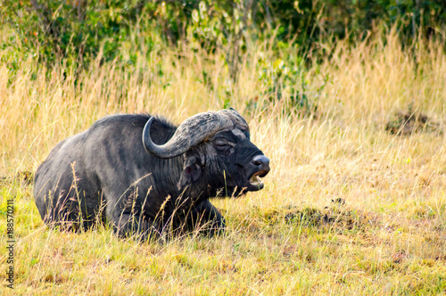 Deurstickers Buffel Isolated Buffalo grazing in the savannah of Maasai Mara Park in North West Kenya