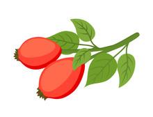 Vector Rose Hip, Haw, Medical ...