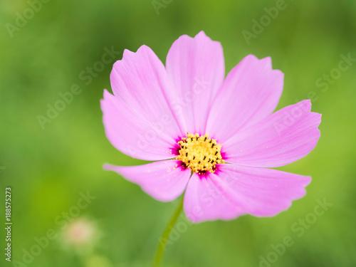 Poster Nature pink starburst flower