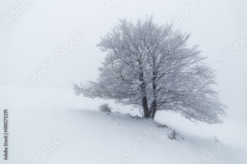 Snowed tree in a foggy winter day in Urbasa, Navarra