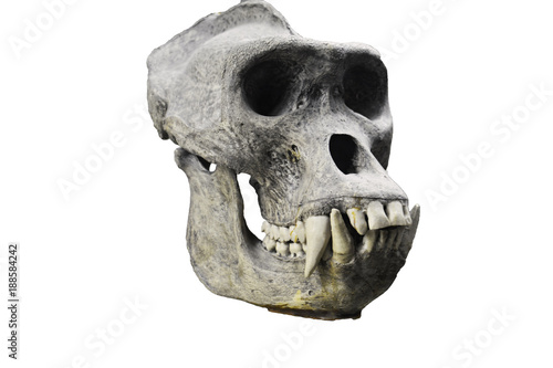 skull of the gorilla