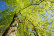 Leinwanddruck Bild - Spring Canopy Of Tree. Deciduous Forest, Summer Nature At Sunny