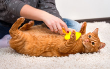 Woman Combing Her Redhead Cat
