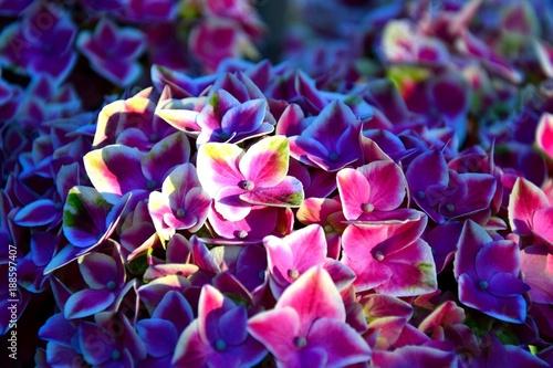 rozowobiale-kwiaty-hortensji
