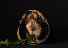 Guinea Pig Eating