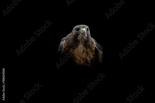 Isolated Intense Harris Hawk Looking Right Canvas Print