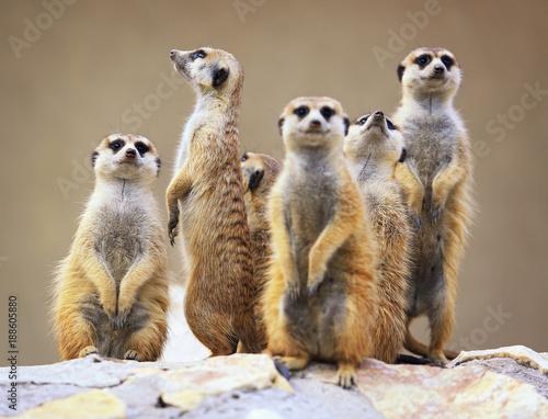 Fényképezés  Group of watching surricatas outdoor