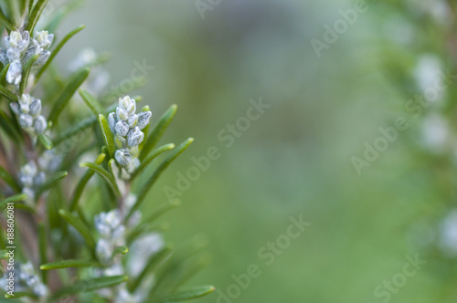 Obraz Blooming rosemary with blurred background - fototapety do salonu