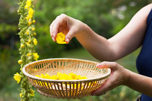 Woman Collect Mullein Flowers To A Wicker Basket. Yellow Verbascum In The Garden.