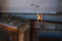 Sunlit Farm Spider