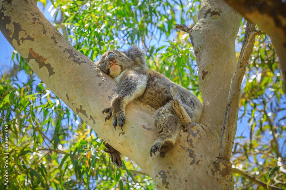 A koala, Phascolarctos cinereus, sleeping on a tree of eucalyptus in Yanchep National Park, Western Australia. Wild Koala outdoor in the wilderness.