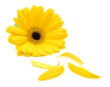 Gerbera Daisy Flower And Petal...
