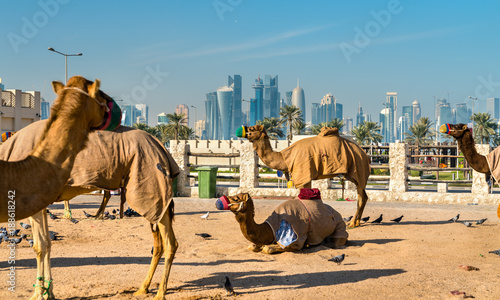 Photo sur Toile Chameau Camel market at Souq Waqif in Doha, Qatar