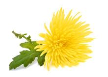 Yellow Chrysanthemum Flower Wi...