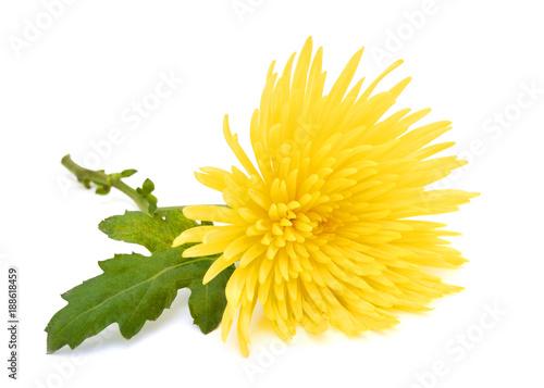 Fotografía Yellow chrysanthemum flower with leaf