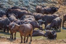 African Buffalo In Water Hole