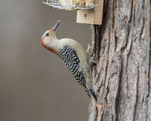 Female Red-bellied Woodpecker ...