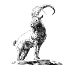 Mountain Goat Standing On Rock...