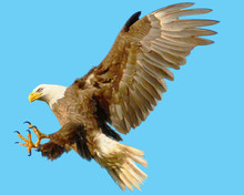 Bald Eagle Landing Attack Hand Draw And Paint Color On Blue Background Illustration.