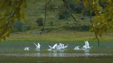 White Swans Take Off From The ...