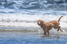The Dog Is Playing In The Wave...