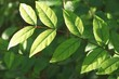 dark Green leaves