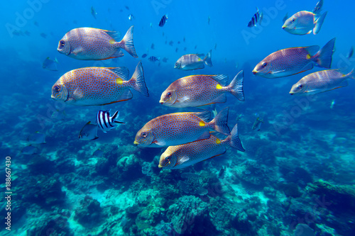 Foto op Aluminium Onder water School of bright orange-spotted spinefoot fishes (Siganus guttatus, Rabbitfish) swim through deep blue sea near coral reef near Redang island, Malaysia