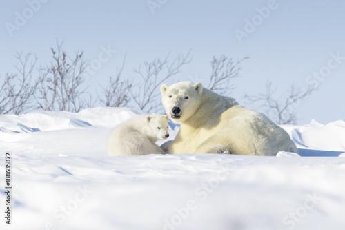 Polar bear mother (Ursus maritimus) with new born cub lying down on tundra, Wapusk National Park, Manitoba, Canada