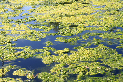 green water alga Canvas Print