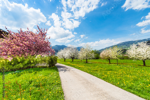 Foto op Aluminium Purper The road in the spring garden. A bright joyful day in the spring in the garden. Fruit trees in full bloom. Magnificent atmosphere awakening nature.