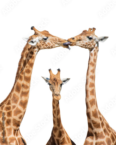 Three funny giraffes isolated on white background