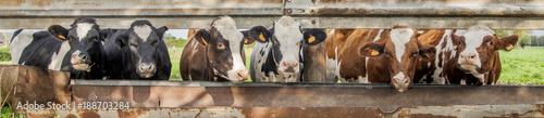 Aluminium Prints Cow cows standing in a row