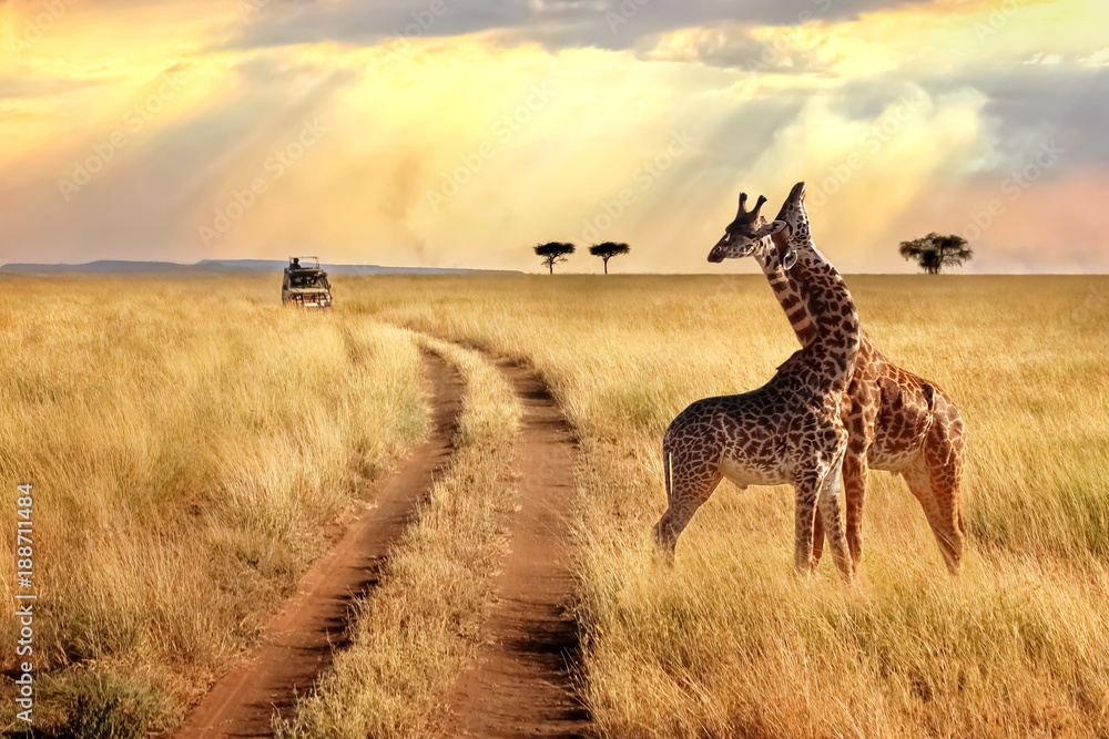 Fototapeta Group of giraffes in the Serengeti National Park on a sunset background with rays of sunlight. African safari.