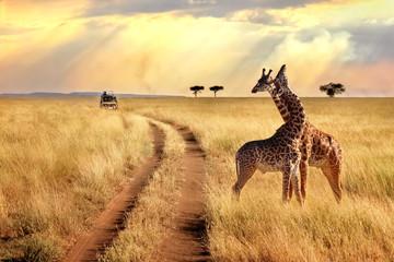 Grupa żyrafy w Serengeti parku narodowym na zmierzchu tle z promieniami światło słoneczne. Afrykańskie safari.