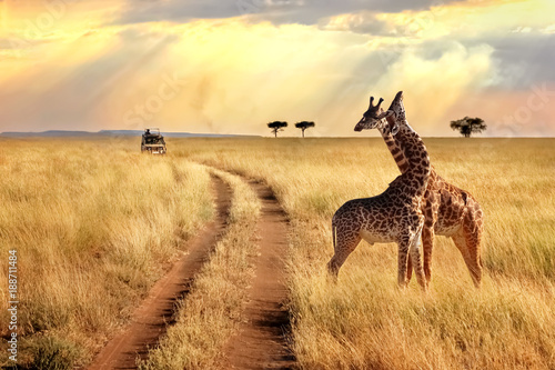 Poster Giraffe Group of giraffes in the Serengeti National Park on a sunset background with rays of sunlight. African safari.