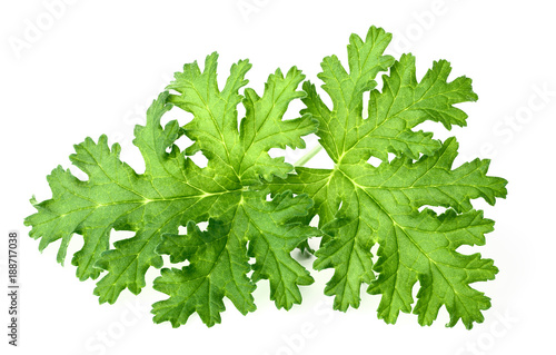 Photo fresh rose geranium leaves isolated on white