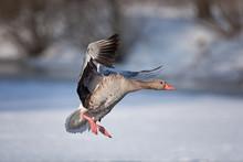 Greylag Goose, Anser Anser, Cz...