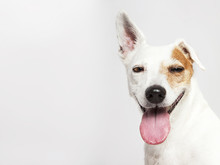 The Dog Of Russel Terrier Smil...