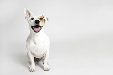 Fototapeta Pies The funny smiling dog
